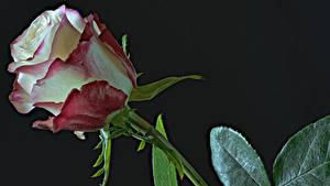 Обои Розы Вблизи На черном фоне Цветы