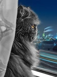 Картинки Кошки Персидская кошка Серые Пушистая Окно Ночью Животные