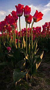 Фотографии Тюльпаны Много Красный Цветы