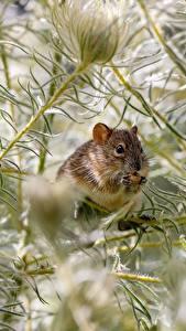 Обои Мыши Ветвь животное