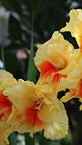Обои Гладиолусы Вблизи Цветы