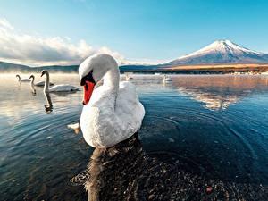 Картинки Лебеди Вода Гора Птица животное