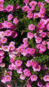 Фотография Калибрахоа Много Розовые Цветы