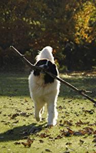 Фотографии Собаки Траве Листья Ветвь landseer Животные