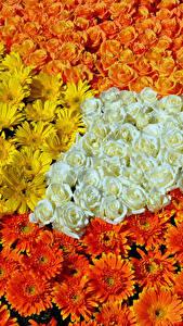 Фото Роза Гербера Много цветок