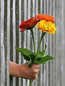 Обои Букеты Ноготки Забор Руки Цветы