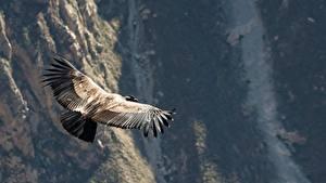 Обои Гора Перу Птицы Грифы Летит Condor, Raptor, Andes животное