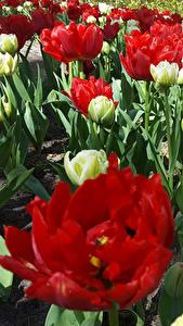 Фотография Нидерланды Парки Тюльпаны Keukenhof Цветы