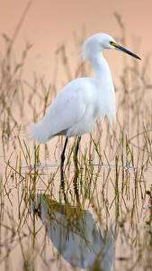 Картинки Воде Птицы Цапли Белый Egretta thula, Snowy egret Животные