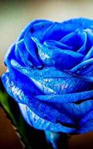 Обои Розы Крупным планом Синий Цветы