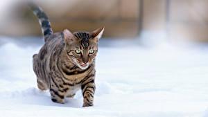 Картинка Коты Снега Смотрит животное
