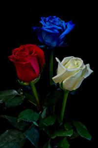 Картинка Розы Черный фон Втроем Цветы