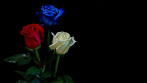 Картинка Роза Черный фон Трое 3 цветок