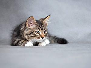 Картинки Коты Серый фон Котята Животные