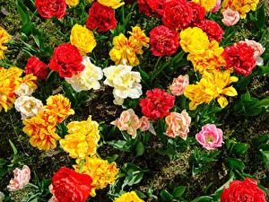 Картинка Тюльпаны Вблизи Разноцветные цветок