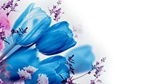 Фотографии Тюльпаны Синий Белый фон Цветы