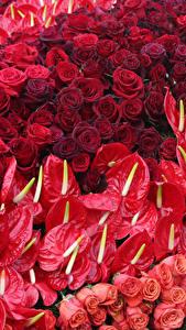 Картинка Розы Антуриум Много Красный
