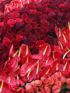 Картинка Розы Антуриум Много Красный Цветы