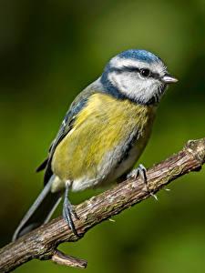 Картинки Синицы Птицы Ветки Blue tit Животные