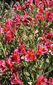 Фотографии Альстрёмерия Много Розовый Цветы