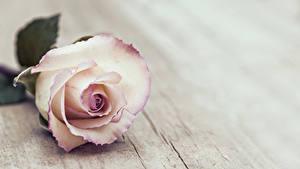 Картинка Розы Вблизи Доски Цветы