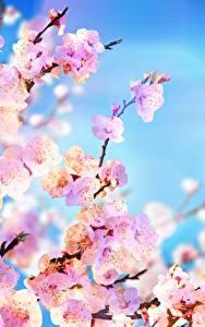 Картинка Небо Сакура На ветке Розовая цветок