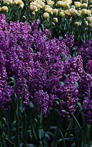 Картинка Нидерланды Парки Гиацинты Много Keukenhof Цветы