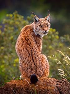 Фотографии Рыси Спина Сзади Сидит животное