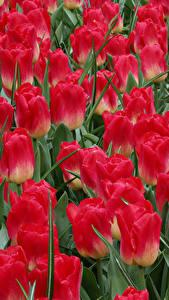 Фото Тюльпаны Вблизи Красный Цветы