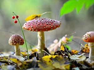 Фотография Ягоды Осенние Грибы природа Трое 3