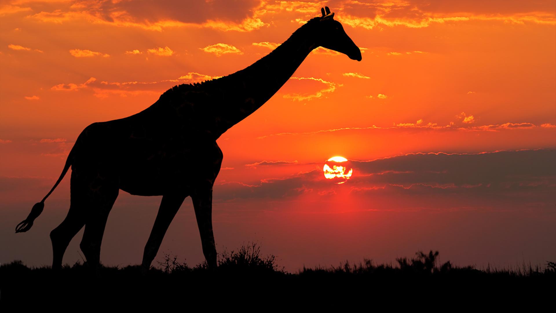 Картинка жираф Силуэт рассвет и закат Животные 1920x1080 Жирафы силуэты силуэта Рассветы и закаты животное