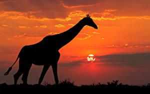 Картинка Жирафы Рассвет и закат Силуэт Животные