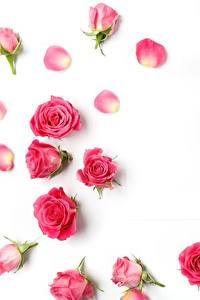 Фотографии Розы Белый фон Розовый Цветы