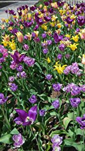 Фотография Парки Тюльпаны Много Цветы