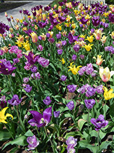 Фотография Парк Тюльпаны Много цветок