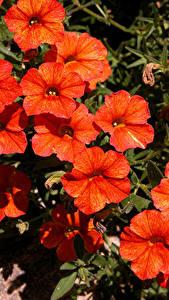 Фото Калибрахоа Вблизи Красный Цветы