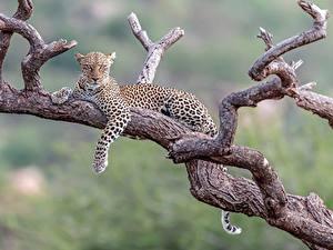 Фотографии Леопарды Ветки Лежа животное