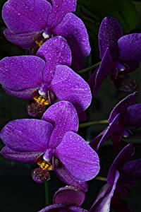Картинка Орхидеи Крупным планом Черный фон Фиолетовый Цветы