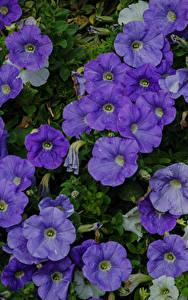 Фотографии Петунья Много Вблизи Фиолетовый Цветы