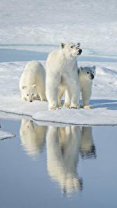 Обои Медведи Белые Медведи Вода Втроем Снег Отражение Животные