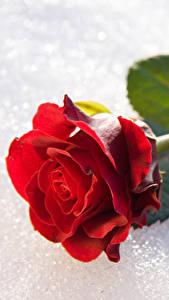 Фото Розы Вблизи Снег Красный