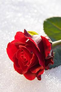 Фото Розы Вблизи Снег Красный Цветы