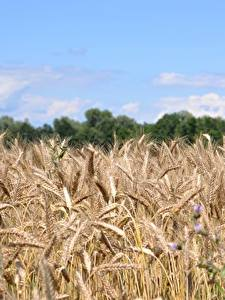 Картинки Поля Пшеница Колосок Природа