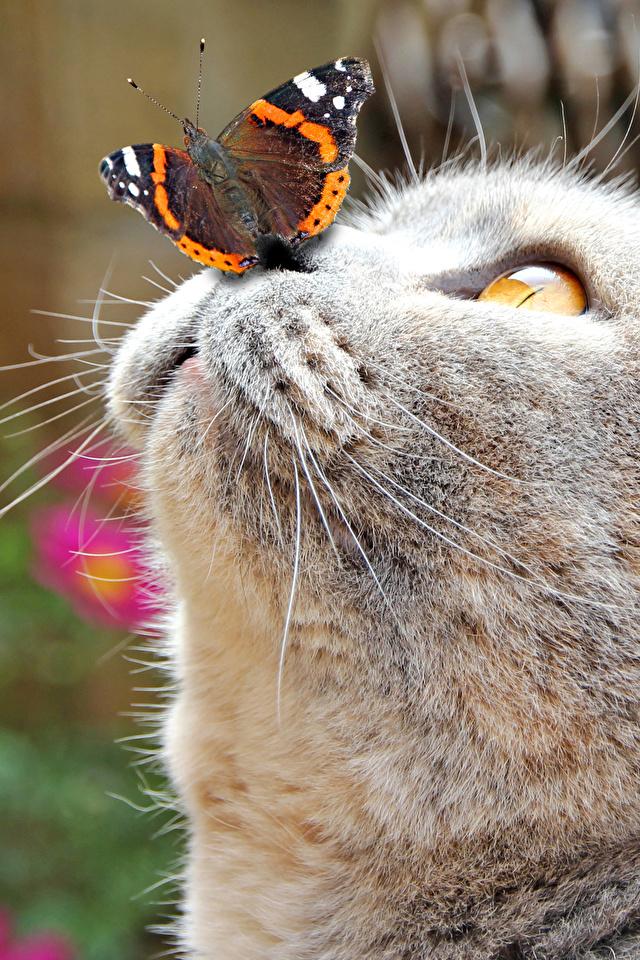 Картинки коты бабочка Нос Серый морды Голова животное 640x960 для мобильного телефона кот Кошки кошка Бабочки носа серая серые Морда головы Животные