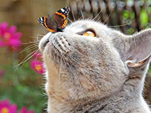 Картинки Коты Бабочка Морды Серый Нос Голова животное