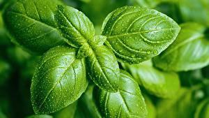 Фотография Вблизи Капли Листья Зеленый basil Продукты питания