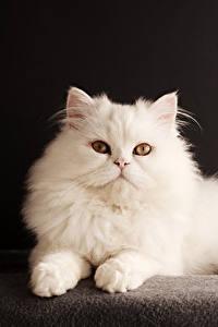 Картинки Кот Черный фон Белых Смотрит животное