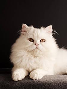 Картинки Кошки Черный фон Белых Смотрит Животные