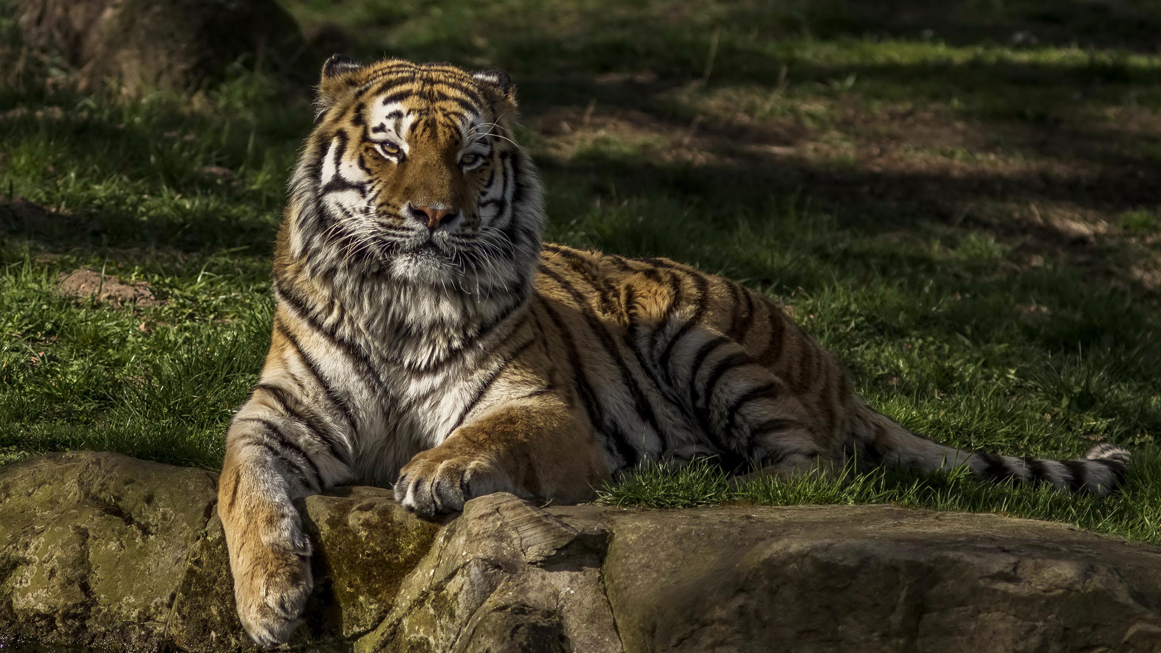 Тигр лежит мленький трава без смс