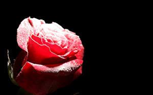 Обои Роза Вблизи Черный фон Красных Снеге Цветы